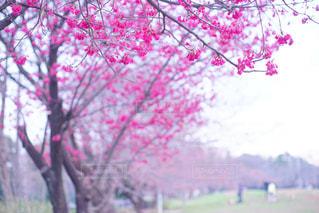 濃いピンク色の寒緋桜の写真・画像素材[1075013]