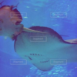泳ぐエイたちの写真・画像素材[1073531]
