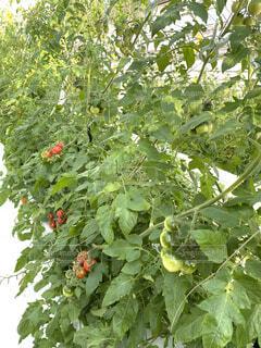 トマトの写真・画像素材[4121340]