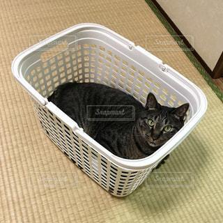 バスケットにはいる猫の写真・画像素材[1040578]