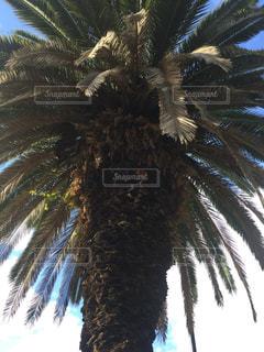 ヤシの木の写真・画像素材[1040744]