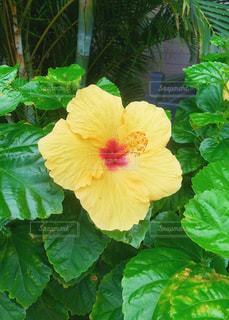 ハワイのハイビスカスの写真・画像素材[1042333]