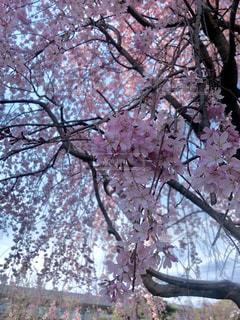 ピンクの花の木の写真・画像素材[1087525]