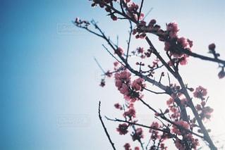 梅の木の写真・画像素材[1877022]