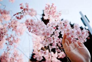 桜の花を持つ手の写真・画像素材[1881799]
