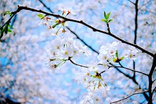 桜の枝の写真・画像素材[1881800]