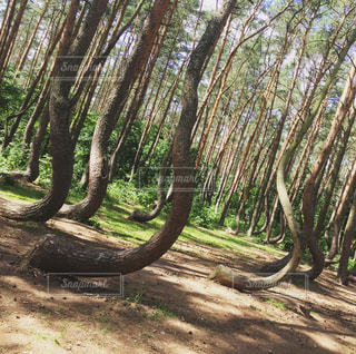 Crooked Forestの写真・画像素材[1041406]