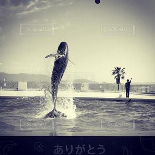 クジラのスピンジャンプの写真・画像素材[1041462]