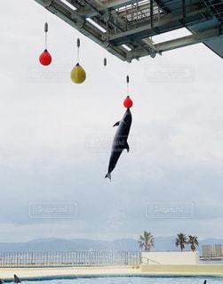 イルカの大ジャンプの写真・画像素材[1070278]
