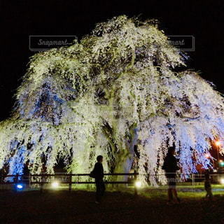 ライトアップされたしだれ桜の前で…の写真・画像素材[1041782]