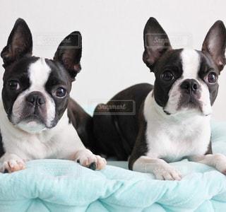 白と黒の犬の写真・画像素材[1041580]