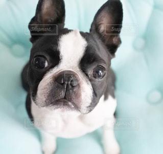 カメラ目線の犬の写真・画像素材[1041581]