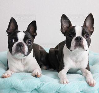 白と黒の犬の写真・画像素材[1041582]