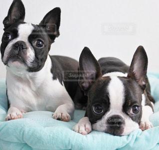 白と黒の犬の写真・画像素材[1041583]
