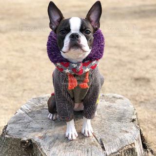 切り株に座る犬の写真・画像素材[1041585]