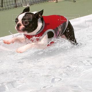 プールで走っている犬の写真・画像素材[1041589]