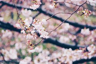 雨の日の桜の写真・画像素材[1074269]