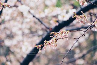 雨の日の桜の蕾の写真・画像素材[1074270]