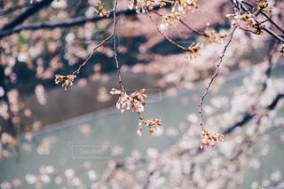 雨の日の桜の蕾の写真・画像素材[1074271]