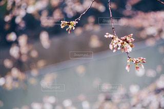 雨の日の桜の蕾の写真・画像素材[1074272]