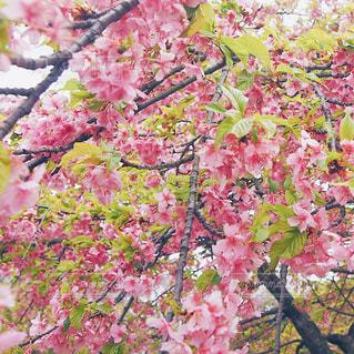 河津桜の写真・画像素材[1074323]