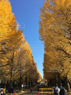 銀杏並木の写真・画像素材[1041823]