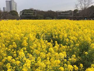 菜の花畑の写真・画像素材[1041825]