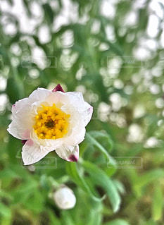 花かんざしの写真・画像素材[1041752]
