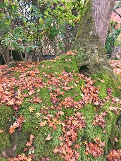 苔と紅葉の写真・画像素材[1041808]