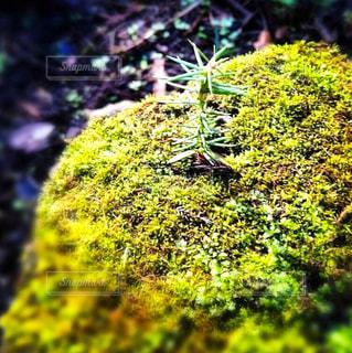 苔と新芽の写真・画像素材[1050755]