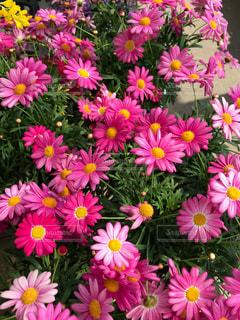 ピンクのグラデーションの写真・画像素材[1054718]