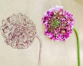 紫のスカビオサの写真・画像素材[1043316]