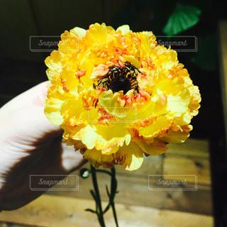 黄色いラナンキュラスの写真・画像素材[1043338]