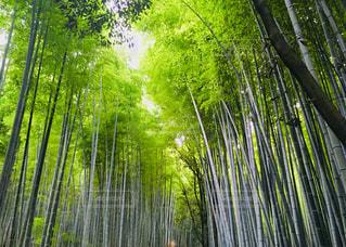 嵐山の竹林。夏の様子の写真・画像素材[1044004]
