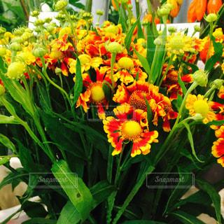 オレンジ色の綺麗なマムの写真・画像素材[1044437]