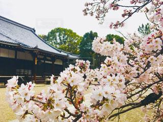 桜の木とお寺の写真・画像素材[1044532]