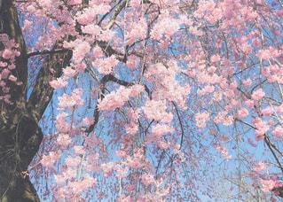 ふんわり桜の大樹の写真・画像素材[1044533]