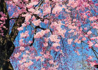 満開の枝垂れ桜の写真・画像素材[1044534]