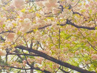 八重桜の花の写真・画像素材[1058079]