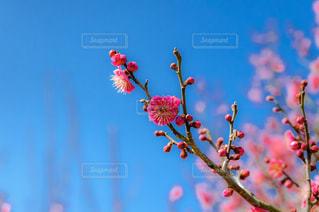 咲き始めた梅の花の写真・画像素材[1042015]