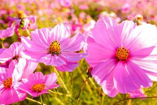 コスモス 花のアップの写真・画像素材[1061230]