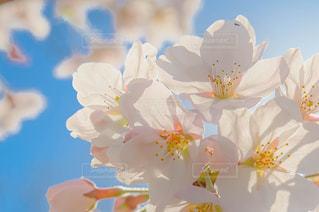 サクラの花のアップの写真・画像素材[1123722]