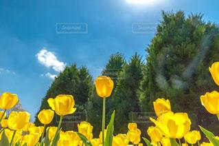 黄 チューリップの写真・画像素材[1149469]