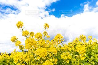菜の花畑 黄色の写真・画像素材[1782926]