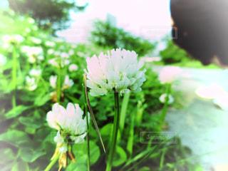 シロツメクサの写真・画像素材[1048683]