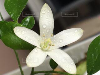 シルクジャスミンの花のアップの写真・画像素材[1087664]