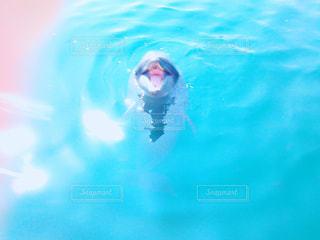こちらにアピールしてくるイルカの写真・画像素材[1120486]