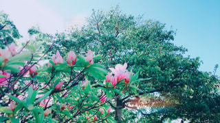 ツツジの蕾 - No.1136492