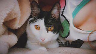 お布団の中の猫の写真・画像素材[1149040]