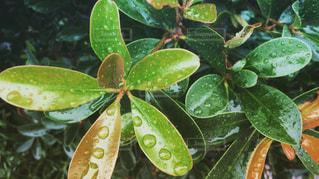 雨上がりのモッコクの葉の写真・画像素材[1241912]